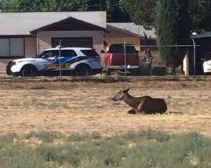 Elk Found & Captured in City